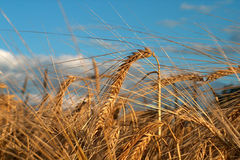 Natures gold. Digital photo of a field of wheatwith sky in the background Royalty Free Stock Photos