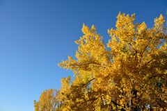 Natures golden fall tree colors in Wyoming Royalty Free Stock Images
