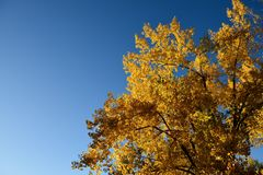 Natures golden fall tree colors Royalty Free Stock Photography