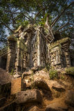 Natures Grip. Ancient temple ruins of Angkor, Cambodia royalty free stock photography