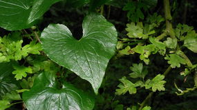 Natures Heart. A leaf that depicts natures heart showing us that we need to love nature Stock Photography