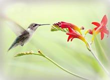 Hummingbird in Flight - Natures littlest miracle. Hummingbird (archilochus colubris) sipping nectar from flower Stock Photos