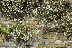 Natures own garden. Old stone wall in a village in Cornwall UK. Hand built in the 19th century. Nature has adorned it with small white wild daisies Royalty Free Stock Photo