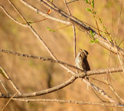 Natures Song. Wild Sage Sparrow singing his song of spring Royalty Free Stock Photos