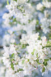 Natures spring Bouqet Flowering Crab Apple Tree stock image