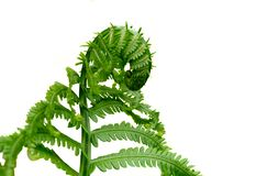 Natures Wonder Spring Time Fresh Fern Beggining. A fresh springtime fern still curled and steadily growing to begin its summer long journey of growth showing Stock Photo