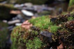 Naturescape av mossa eller Lichen Covering en sten i träna Royaltyfri Bild