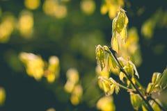 A natureza acorda Mola adiantada Folhas pequenas Fundo da árvore da mola Foco seletivo Copie o espaço Fotos de Stock