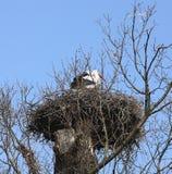 A natureza animal do pássaro da cegonha livra animais selvagens Fotos de Stock