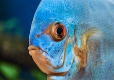 Natureza azul do amazona dos animais do olho do disco dos peixes selvagem imagens de stock