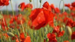 Natureza bonita do campo da papoila das flores da papoila filme