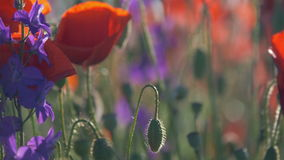 Natureza bonita do campo da papoila das flores da papoila video estoque