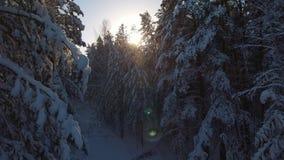 Natureza bonita do inverno de Sibéria: abetos e pinhos na neve filme