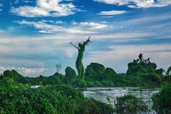 Natureza bonita em Camboja A árvore gosta de uma mulher no LAK da seiva de Tonle Imagens de Stock