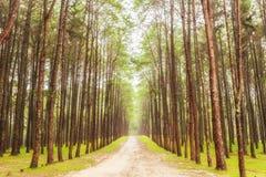 Natureza bonita na floresta forte do pinho Foto de Stock