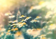 Natureza bonita - o foco macio no trigo e na margarida floresce Imagem de Stock
