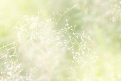 Natureza borrada da grama, flores macias da grama frescas para o fundo, borrão pequeno no dia da manhã da luz do sol, flor natura imagens de stock