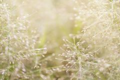 Natureza borrada da grama, flores macias da grama frescas para o fundo, borrão pequeno no dia da manhã da luz do sol, flor natura fotos de stock