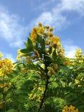 Natureza da árvore do céu da flor bonita foto de stock royalty free