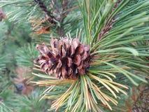 natureza da árvore do cone fotos de stock