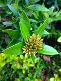 Natureza da flor de Ixora Imagem de Stock Royalty Free