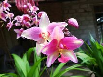 Natureza da flor de Pin And White Mix Color da orquídea de Sri Lanka imagens de stock