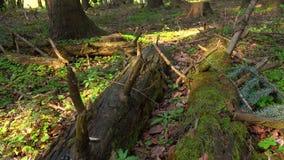 A natureza da floresta selvagem, árvores caídas cresce com musgo video estoque