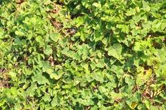 A natureza da parede do plano das folhas do sumário sae da árvore para o verde do arbusto do jardim do contexto as folhas frescas Fotos de Stock Royalty Free