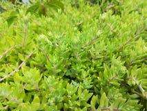 Natureza das plantas verdes botânica Fotografia de Stock