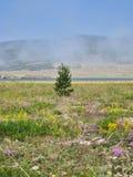 Natureza de Baikal Árvore de abeto em um campo Imagem de Stock Royalty Free