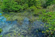 Natureza de surpresa de Tha Pom Klong Song Nam em Krabi Tha Pom Swamp Forest é uma floresta com muitos nascentes de água bonitos imagens de stock