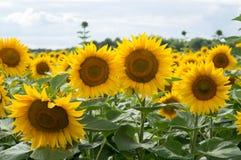 A natureza do girassol que cultiva o céu da paisagem nubla-se a beleza amarela imagem de stock royalty free