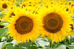 A natureza do girassol que cultiva o céu da paisagem nubla-se a beleza amarela imagens de stock royalty free