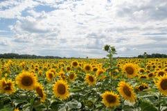 A natureza do girassol que cultiva o céu da paisagem nubla-se a luz solar amarela Fotos de Stock Royalty Free