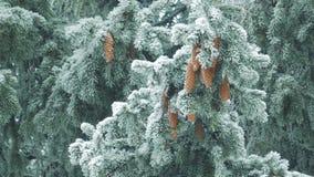 Natureza do inverno - ramos do pinho com a neve que balança no vento filme