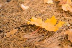Natureza do outono Folhas do amarelo na grama fotografia de stock royalty free