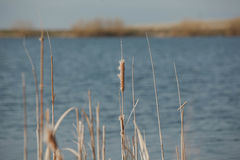 Natureza do rio do junco Imagens de Stock Royalty Free