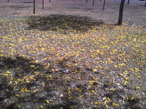 Natureza do solo do amarelo de Ipê tropical Foto de Stock Royalty Free