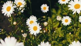 Natureza do verão, dos campos de flor, do prado da flor selvagem, da Botânica e da biologia As camomilas bonitas florescem em um  video estoque