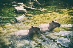 Natureza doce da água do rio do capybara dos pares do Latino fotos de stock