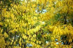 Natureza dos foliages do outono da árvore Imagens de Stock Royalty Free