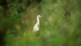 Natureza dos pássaros do egret de gado video estoque