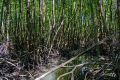 Natureza e Forest Klaeng da floresta dos manguezais em Rayong, Tailândia Fotografia de Stock