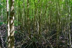Natureza e Forest Klaeng da floresta dos manguezais em Rayong, Tailândia Foto de Stock Royalty Free