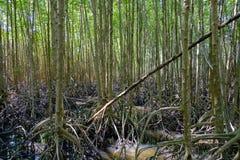 Natureza e Forest Klaeng da floresta dos manguezais em Rayong, Tailândia Fotos de Stock Royalty Free