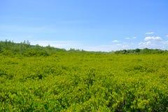 Natureza e Forest Klaeng da floresta dos manguezais em Rayong, Tailândia Imagem de Stock