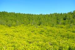 Natureza e Forest Klaeng da floresta dos manguezais em Rayong, Tailândia Foto de Stock