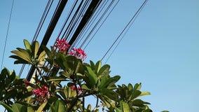 Natureza e tecnologia, árvore de florescência do Plumeria e linhas elétricas elétricas video estoque