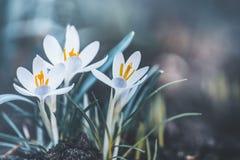 A natureza exterior da primavera com açafrões pálidos bonitos floresce Imagem de Stock
