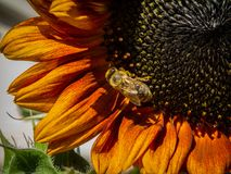 Natureza, flora, flores, girassol, abelha foto de stock royalty free